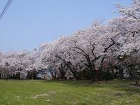 Tateyama Park Cherry Blossom Festival