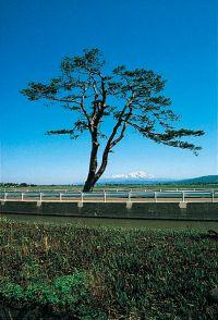 Funatsunagi no Matsu (town-designated cultural property)